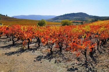 vignes des corbières en automne avec des feuilles rougies et une vue sur les collines au fond
