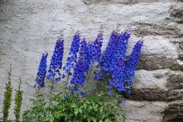 fleurs bleues tour du mont blanc clinique de jeune petit - Tour du Mont Blanc en jeûnant