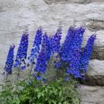 fleurs bleues tour du mont blanc jeune et randonnee 150x150 - Galerie de photos/archives