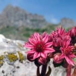 Fleurs rouges en haute montagne dans les Alpes