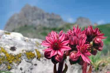 fleurs rouges tour du mont blanc clinique de jeune petit - Tour du Mont Blanc en jeûnant