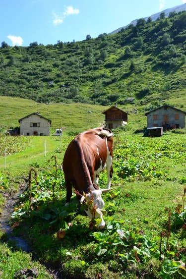 vache tour du mont blanc clinique de jeune petit - Tour du Mont Blanc en jeûnant