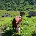 Une vache de race Abondance dans un alpage dans les Alpes à côté d'un petit ruisseau en train de manger de l'herbe avec trois chalets savoyards au fond