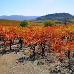 vignes corbieres automne le jeune 150x150 - Galerie de photos/archives