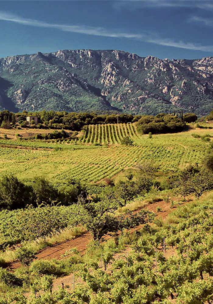 vignes caroux jeuneetrandonnee 700x1000 1 - Domaine de Miravel